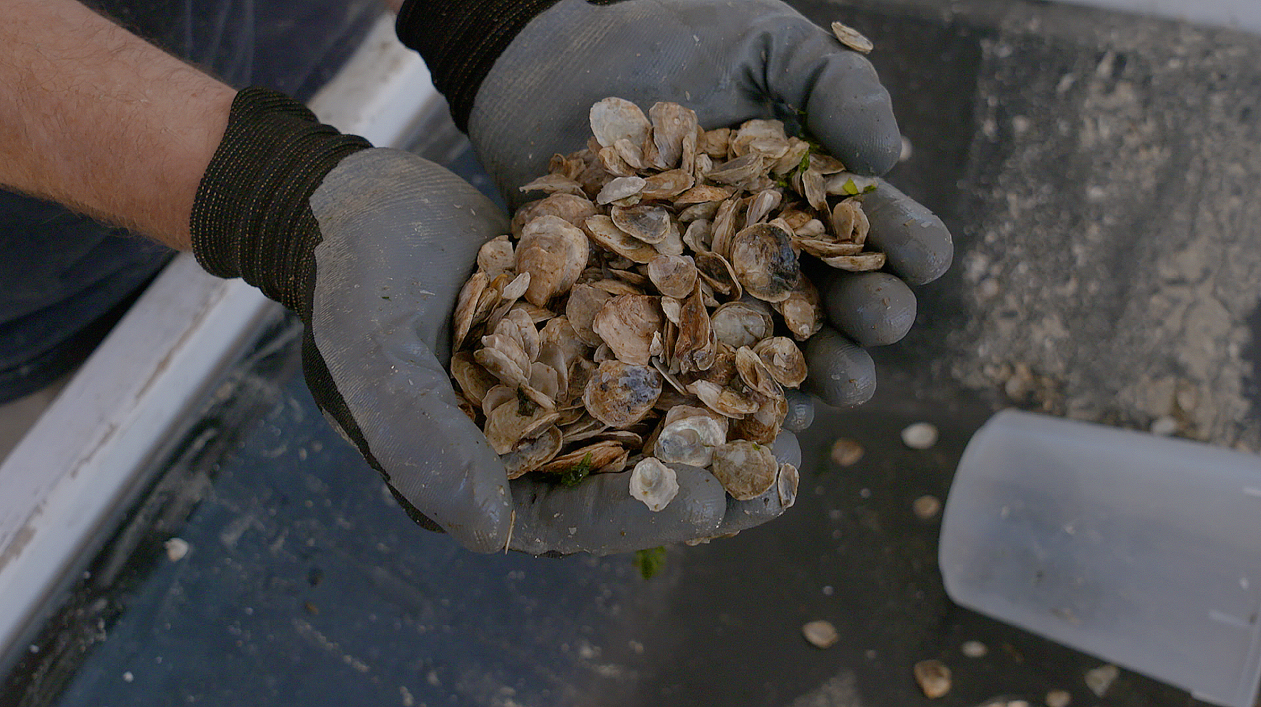 The impact of microplastics on filter feeders like these Olympia oysters will be one area studied by Western's Wayne Landis and his colleagues at OSU as part of the new NSF grant.