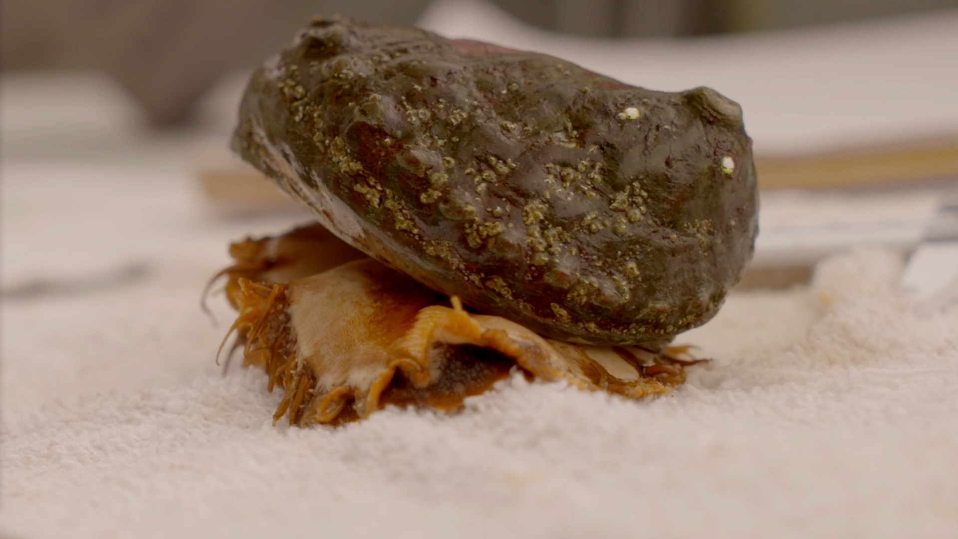 an adult pinto abalone