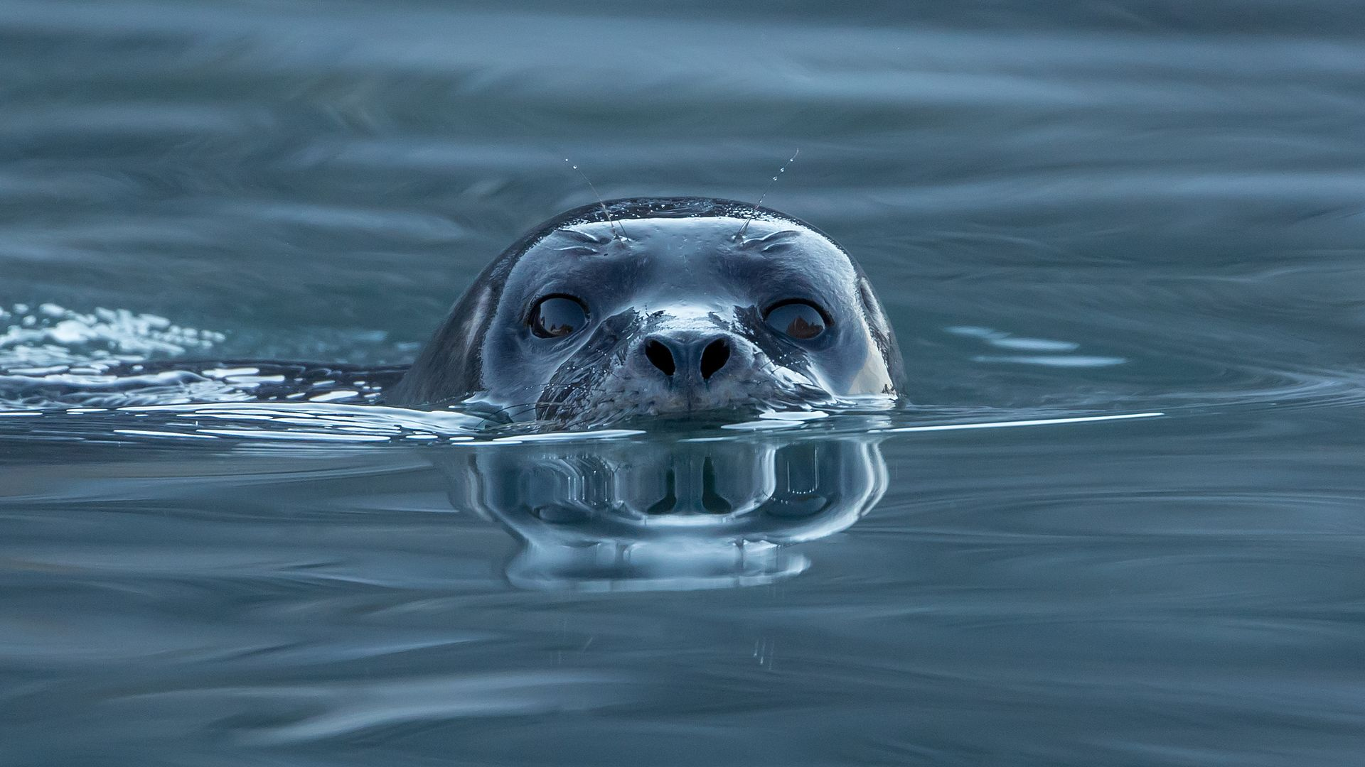 a swimming seal looks at the camera